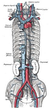 gray's anatomy : vii. the veins - usmle forum, Cephalic Vein